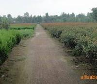 供应营养钵红叶石楠苗苗圃地栽红叶石楠苗