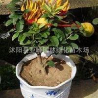 新鲜新品花卉中秋特别推出一棵树上长着两种果实的柠檬佛手