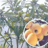 特价销售*新进金橘果树(图片多多)花香迷人