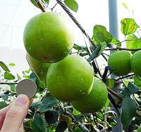 果树日本大蜜枣新品种盆栽枣树苗长而大味道超级好