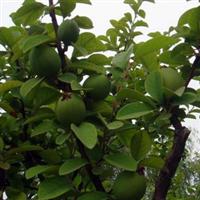 天香木瓜树木瓜降龙木吉祥树大木瓜苗2-10年规格齐全