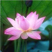 水培迷你小碗莲根茎粉珍珠栽盆栽
