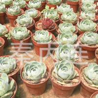 仙人球盆栽花卉防辐射仙人荷花净化空气