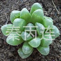 多肉植物花卉.玉露桌面小盆栽