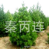 供应发财树,室内外观叶植物盆景