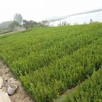 供应瓜子黄杨小叶黄杨大叶黄杨各类绿化苗木小苗球形苗木