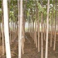 供应合欢树苗8-15公分规格齐全实地看货