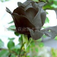 进口玫瑰种子1斤起邮可混批1斤··