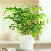 铁线蕨中型植物耐阴喜水适合放浴室盆栽绿植吸甲醛净化空气