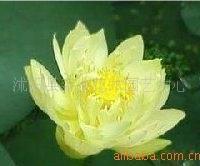 低价出售荷花种子-碗莲种子-冰娇【点击查看荷花种植