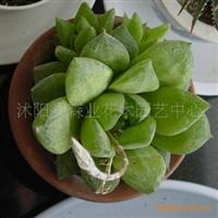 盆栽(玉露)具有净化空气和防辐射功效
