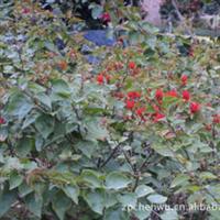 紫花三角梅袋苗(叶子花勒杜鹃)