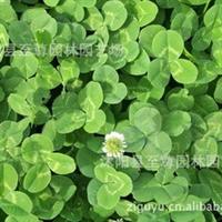 批发优质草坪种子白三叶种子红三叶种子杂三叶种子三叶草种子
