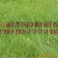 【至尊园林】出售暖季型进口草坪种子野牛草种子