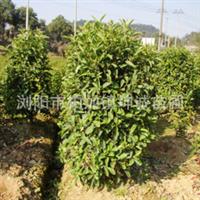 绿化苗木优质小叶榆树柏加镇坤诚苗木基地供应价格实惠