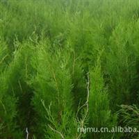 泰安长期供应优质绿化苗木侧柏