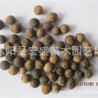 出售香樟,榆叶梅、美国红枫种子