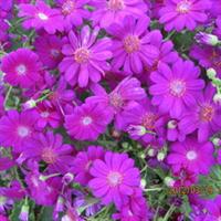 大量出售工程绿化苗木球根花卉葱兰优质苗