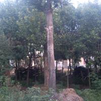 大规格野生朴树20253040455055公分cm大乔木绿化园林