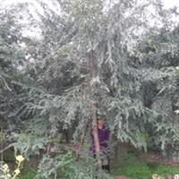供应绿化工程苗木乔木植物黄金南方红豆杉(紫杉)大红豆杉