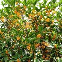大观园绿化基地专业生产三色堇等各种草花