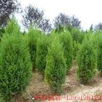 大量供应优质绿化苗木——刺柏苗木