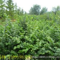 大量供应紫丁香/丁香树苗绿化工程苗木