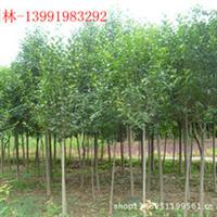 大量供应园林绿化苗木——大叶女贞