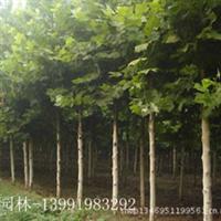 大量供应优质绿化苗木——法国梧桐法桐苗木