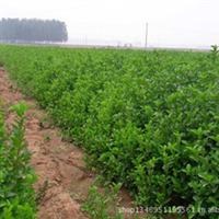 供应大叶黄杨苗-陕西大叶黄杨基地,冬青基地-绿化工程苗木--