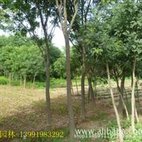大量供应绿化苗木—各种规格国槐/陕西国槐生产基地