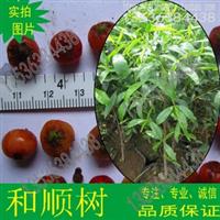 鹅肾树种子和顺树竹节树山竹黎四季常绿