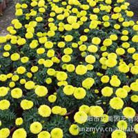 批量供应花卉盆景万寿菊质量一等
