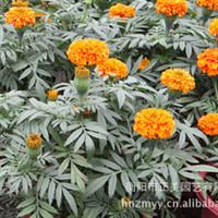 厂家直销大量优质盆景万寿菊质量保证