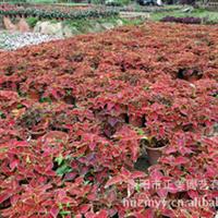 专业供应小型彩叶草盆栽