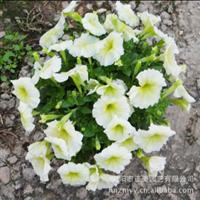 大量销售花卉牵牛花盆栽花卉盆栽批发迷你花卉花卉盆栽植物