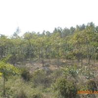苗木场大量供应发财树绿化苗圃