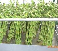 嘉宇花卉培植杨大量供应优质富贵竹—荷花竹弯竹