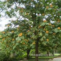 新兴优美花木—无忧树、无忧花、火焰花