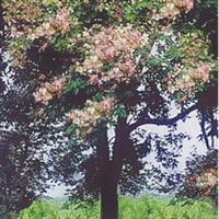 仪花、仪花树、中国仪花、仪花苗、种苗