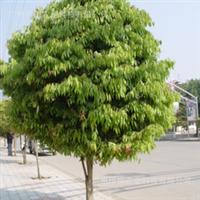 珍贵名木——铁力木、铁棱木