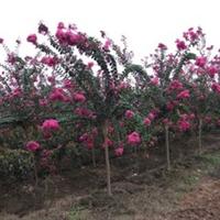 紫薇百日红3公分5000棵