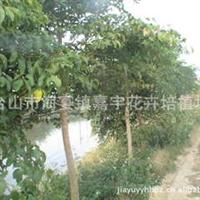 苗木场大量供应广伞枫绿化树苗