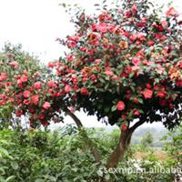苗木基地长期低价供应茶花球