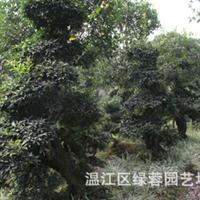 专业园林植物厂家直供树苗盆景罗汉树专业批发各种园林树木
