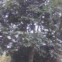 花梨木红果冬青