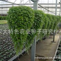 批发优质花卉种子马蹄金马蹄金种子马尼拉种子