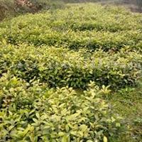 天竺桂树苗