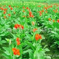 花卉种子美人蕉种子芭蕉花叶美人蕉葱兰彩叶麦冬野花种子