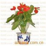 红掌租赁室内花卉园艺花卉